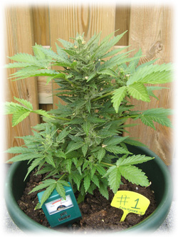 https://www.dutch-headshop.be/images/tiny_mce_images/images/cannabis-plant-outside.jpg