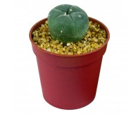 Peyote cactus [Lophophora Williamsii]