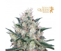 Honey Cream Fast Flowering (Royal Queen) 3 zaden