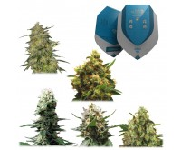 Medische Mix CBD Zaden Gefeminiseerd (5 Zaden) Royal Queen Seeds