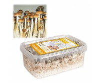 Paddo Kweekset Golden Teacher (Ready-to-Grow Growkit)