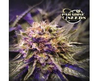 Blue Kush Berry (Paradise Seeds) 3 zaden