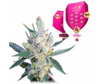 Royal Cheese Fast Flowering (Royal Queen Seeds) 5 zaden