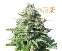 Royal Gorilla Automatic (Royal Queen Seeds) 3 zaden