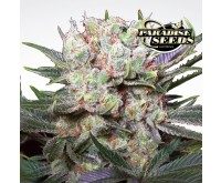 Californian Gold (Paradise Seeds) 3 graines