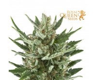 Speedy Chile Fast Flowering (Royal Queen Seeds) 3 graines