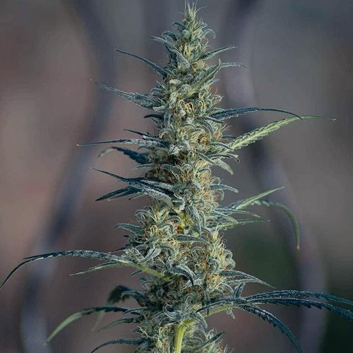 Candida CD-1 van Medical Marijuana Genetics wietplant