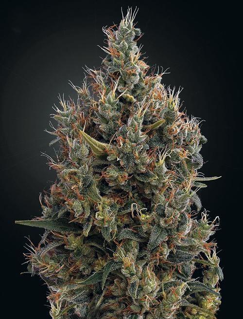 Cannabis à têtes denses de Big Bang Auto