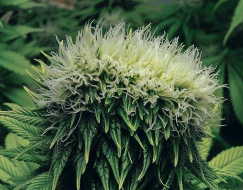 Cannabis Polyploïde