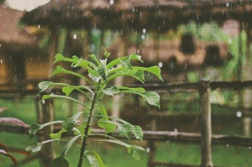 Regenwater voor de wietteelt Dutch Headshop
