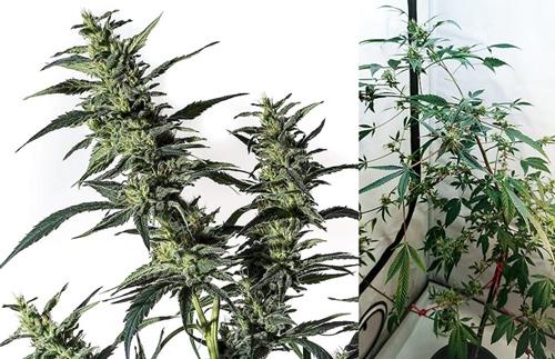 Vrouwelijke wietplant (links) en mannelijke wietplant